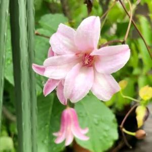 プリンセスケイトがまた咲いた♪