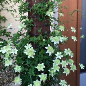 玄関を囲むホワイトとブルーの花