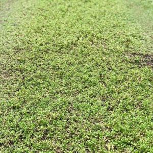 芝生に代わる踏んでも平気なグランドカバー