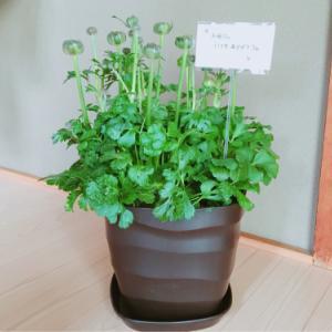 母へのプレゼント。父に依頼された鉢植え ラナンキュラス