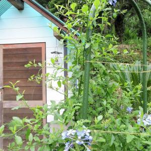 アリス花壇で咲くルリマツリ・ナニワイバラの剪定・セールス