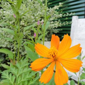 クリロー花壇にレンガ追加・バッサリ剪定