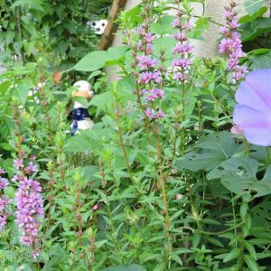 アヒル花壇で咲くミソハギ・
