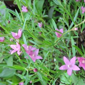 マイカフェ「ハナミズキ」花壇で咲くサザンクロス