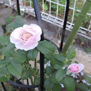 ウエルカム花壇のバラ・エンジン掛からず
