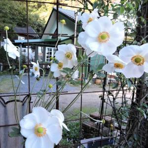 猫の細道花壇のシュウメイギク~アサガオ撤去