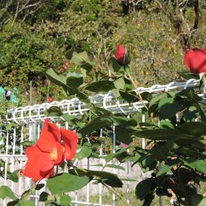 ウエルカム花壇のアルティシモ