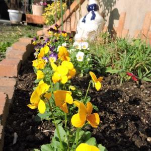 アヒル花壇にビオラ~アプローチ花壇の手入れ