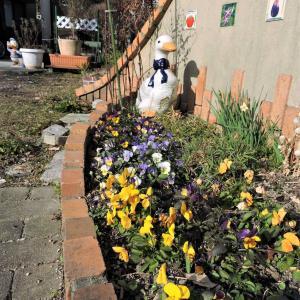 寒そうなアヒル花壇~寒くても庭仕事