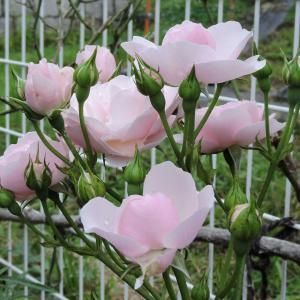 ウエルカム花壇のバラ・ビワの収穫にスケット