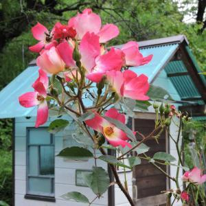 アリス花壇のバラとパイナップルリリー