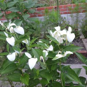 アリス花壇の半夏生・ボタンクサギ・作業は山のようにある