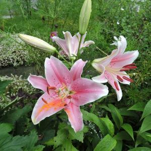 マイガーデンの花達・ボランティアで公園の花壇を手入れ
