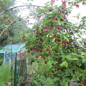 アリス花壇の手入れ・アブチロンの剪定と草取り