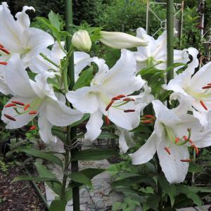 アリス花壇のカサブランカ・励みになる