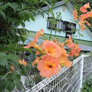 花壇のノウゼンカズラ・パイナップルリリー