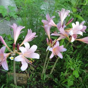 アリス花壇のナツズイセン・雑草との闘い