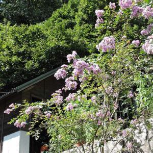 アリス花壇のコスモス抜き・シシ侵入で柵の補強