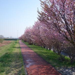 今年の中の川桜並木