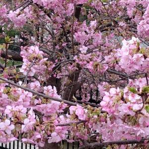 俺の河津桜リベンジ。