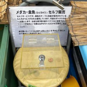 充実の500円らんちゅう