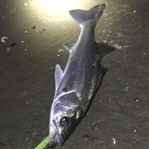 釣り納めは渥美サーフ