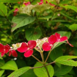 紅色の紫陽花