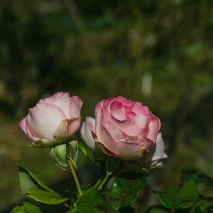 豊住公園の秋薔薇