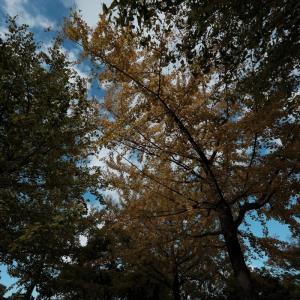 木場公園の銀杏