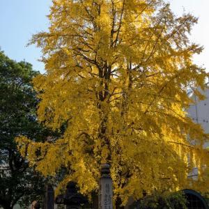 両国回向院の黄葉