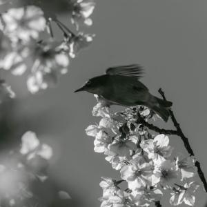 河津桜の花の間飛び回るメジロ