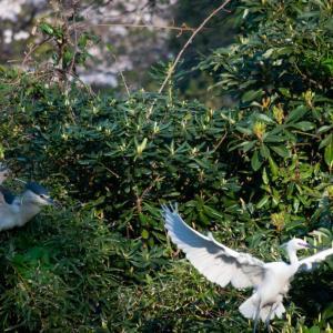 ゴイサギとコサギの巣作り場所陣取り合戦