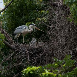 野鳥の島よく見たらアオサギの雛、超遅い子がいました。2羽まで確認。