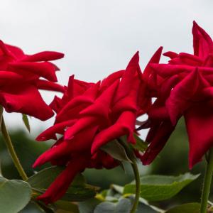 赤い薔薇 木場公園