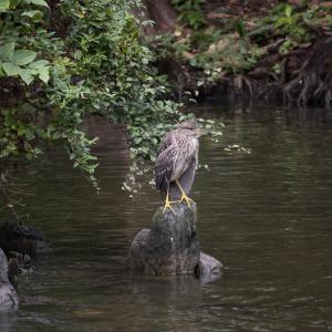 水車のある池のホシゴイ(ゴイサギ幼鳥)がいっぱい