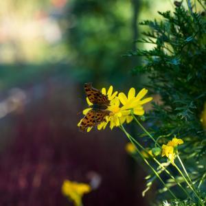 黄色い花とヒョウモンチョウ