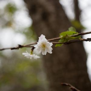 秋から冬にかけて咲くコブクザクラ