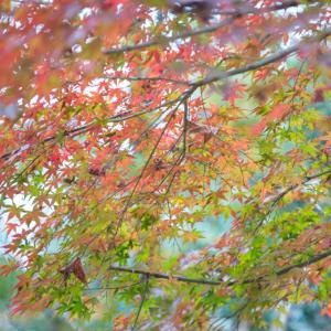 オールドレンズ で撮る紅葉