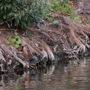 ツグミ(右の鳥)に久しぶりに遭遇