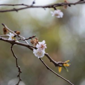 木場公園の子福桜