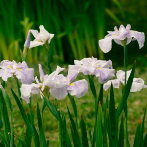 皇居東御苑にの丸庭園の花菖蒲