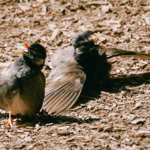 餌を強請る椋鳥の幼鳥