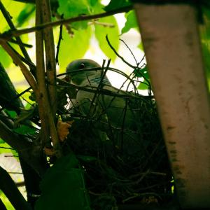 雉鳩の営巣