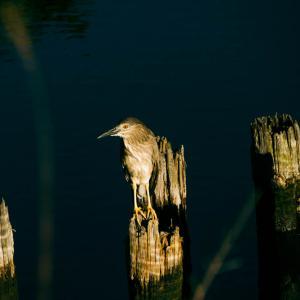 朝のホシゴイ(五位鷺の幼鳥)