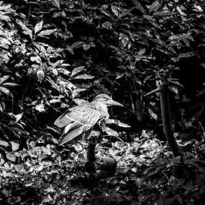 休憩中の星五位(五位鷺の幼鳥)