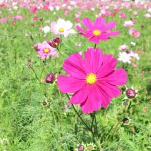 コスモスのお花畑