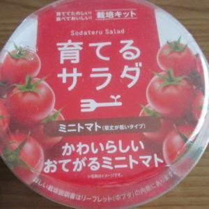 ミニトマト栽培ちう・・・