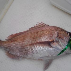 5/31 鯛歌舞楽&TGベイト 釣れたけど時合いは短かった 柏崎「ラーメンスーパー中華大陸」さん