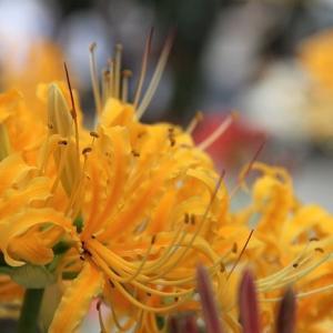 松戸市祖光院の彼岸花を見に♪