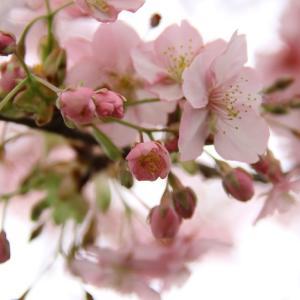 松戸の河津桜が満開